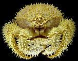 Pulsa en la imagen para verla en tamaño completo  Nombre: cangrejo-abisal-2070.jpg Visitas: 35 Tamaño: 235.7 KB ID: 7920