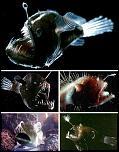 Pulsa en la imagen para verla en tamaño completo  Nombre: anglerfish.jpg Visitas: 59 Tamaño: 45.5 KB ID: 6046
